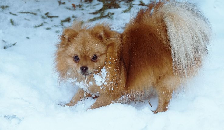 Snow and Spitz. Dog in winter
