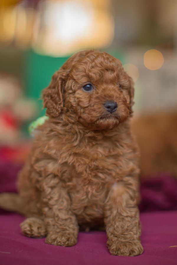 Groodle Review Our Miniature Groodles Grow To Be Between 35 And 45cm Tall When Fully Grown Weighing From 15kg To 2 Puppy Time Goldendoodle Miniature Puppies