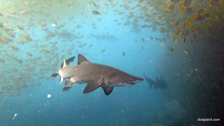 Broughton Island is a natural aquarium with Grey Nurse the bonus. #scuba #diving #underwater #travel #diveplanit