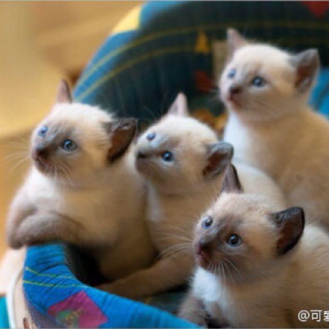 Ragdoll kittens (?)