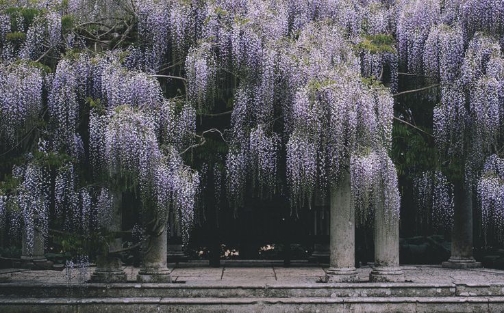wisteria dangling on winery trellises in cold weather