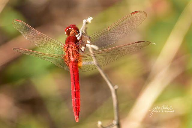 Julie Everhart Fine Art & Photography: Red Dragonfly by Julie Everhart