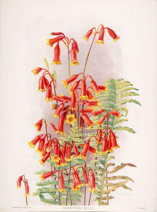 Blandfordia nobilis (Christmas Bells)