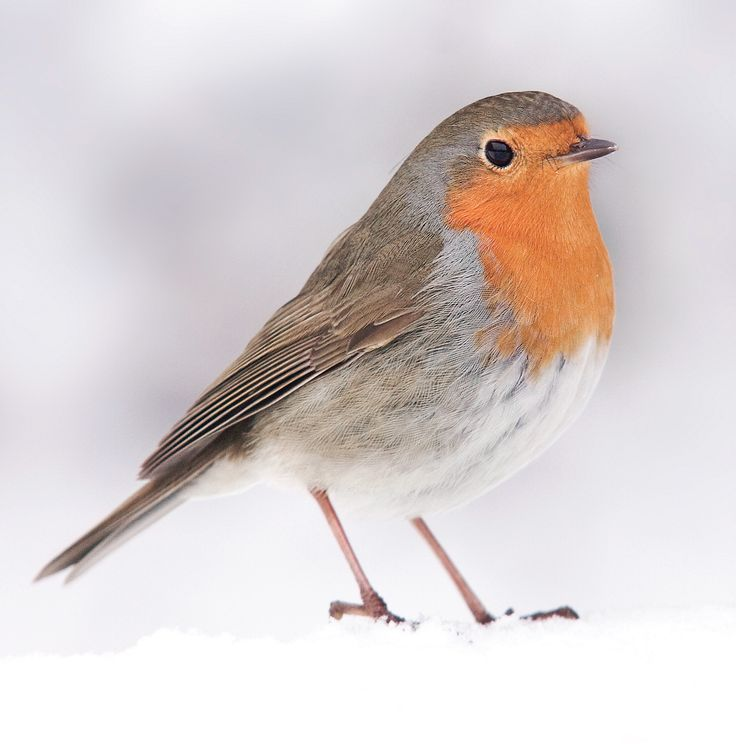 """Snow Robin. 121 x 121mm. £3.00. All cards come in packs of 10.  Greeting in cards: """"With Best Wishes for Christmas and the New Year."""""""