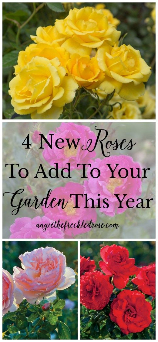 4 New Roses To Add To Your Garden This Year...Roses are a classic staple in the gardening world. For good reason, I might add! They are the perfect addition to any landscape, adding color, height and fragrance.