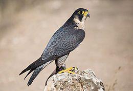 Constituye también uno de los últimos reductos de nidificación de especies ornitológicas en las comarcas del sur valenciano como es el gavilán común (Accipiter nisus) o el azor común (Accipiter gentilis) entre otros. De entre todas las especies de fauna que habitan el Parque, hay unas pocas que cabe destacar por su escasez o rareza como son el águila perdicera (Hieraaetus fasciatus), la garduña (Martes foina), el halcón peregrino (Falco peregrinus), el búho real (Bubo bubo) y el buitre…