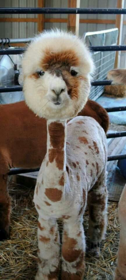 Alpaca and his sweet shaven body and fluffy head!
