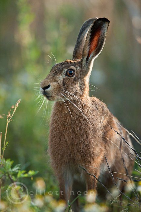 Hare (I'm watching you)