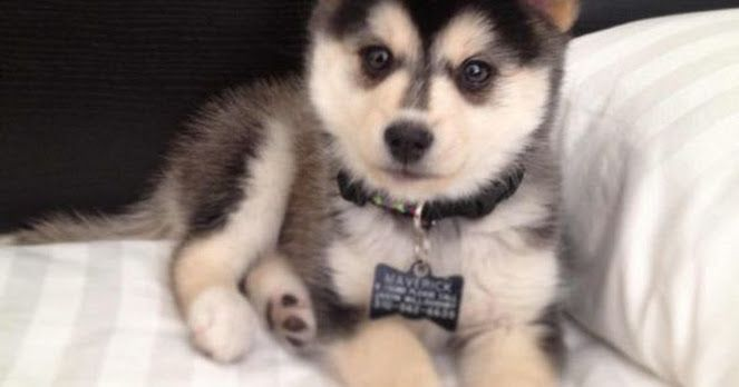 "BREEDS:  POMSKY  ""SAVE A DOG AND SAVE A VETERAN"". TRAINING RESCUE/SHELTER DOGS TO SERVE AS SERVICE DOGS FOR CIVILIANS AND, FREE, FOR U.S. VETERANS. www.DogEvolution.us (Service Dog Training) (http://dogtrainingorangecountyca.com/)www.DavidUtter.com David"
