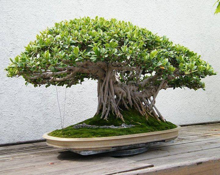 bonsi ficus estilo sekijoju raizes para fora bonsai. Black Bedroom Furniture Sets. Home Design Ideas