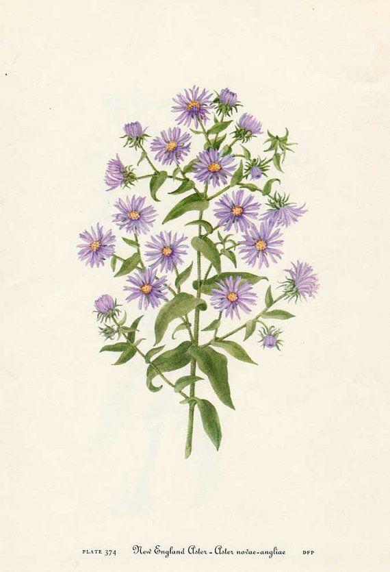 Vintage 1953 New England Aster Flower Botanical, Floral Print for Framing, American Wildflower