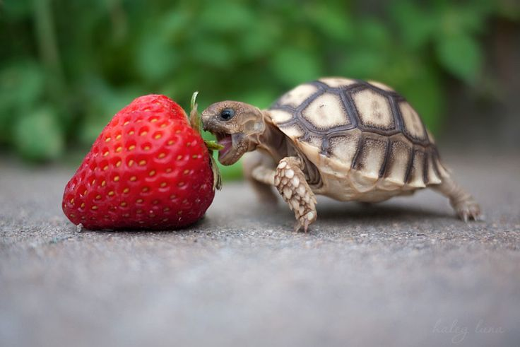Looks like somebody's hungry -- the strawberry is as big as he is!!!