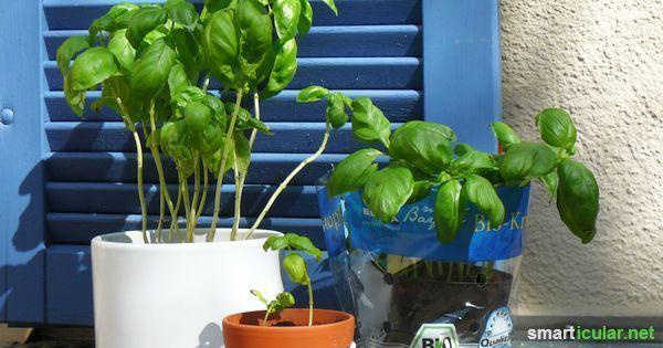Mit diesen 7 Tipps überleben Basilikum-Töpfchen ewig