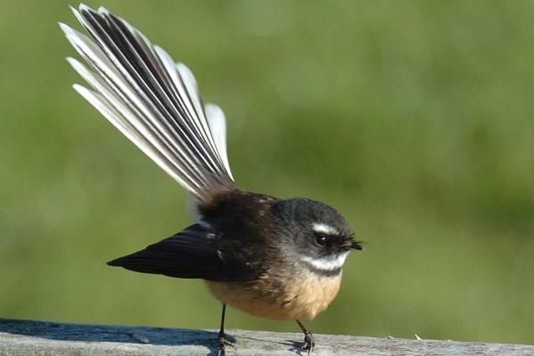 The native Fantail is one of New Zealand's most loved birds.