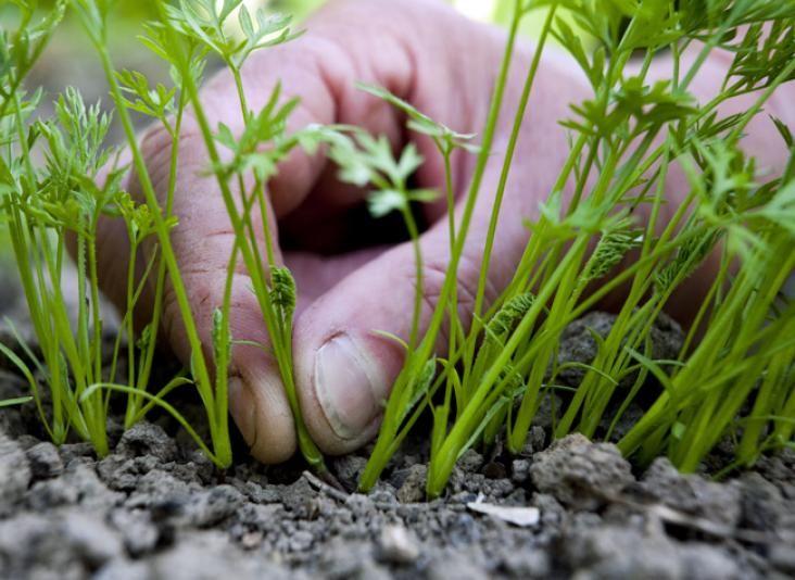 Eclaircissage des semis de carottes - Rustica - F. Boucourt