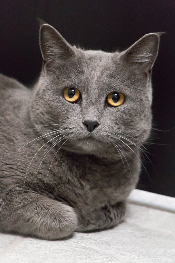 Adopt Grey Cashmere On Petfinder Russian Blue Cat Russian Blue Cats