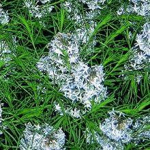Narrow Leaf Blue Star for sale buy Amsonia hubrichtii