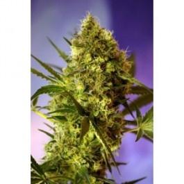 Big Devil es una variedad autofloreciente y feminizada de talla alta (entre 1 y 1,5 metros de altura). Producción de cogollos compactos y resinosos. Aromas inciensados y afrutados con reminiscencias Skunk.