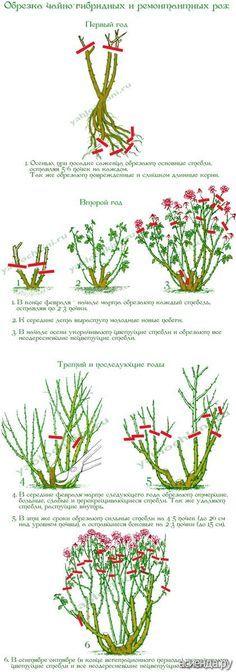Обрезка роз. часть 2. Чайно-гибридные и ремонтантные розы.: Группа Садовые цветы и флористика