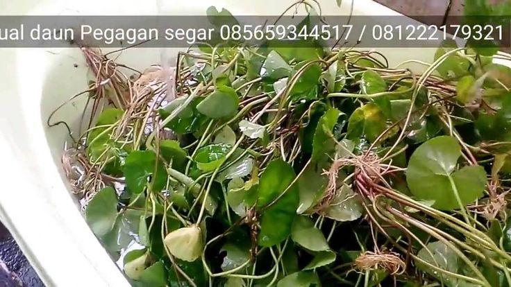 daun pegagan adalah tanaman obat manfaat untuk otak wajah jerawat jantung