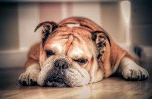 Bully Breed Lazy English bulldog