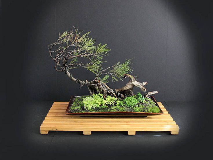 Australian Pine Bonsai tree composition, Conifer collection from LiveBonsaiTree by LiveBonsaiTree on Etsy