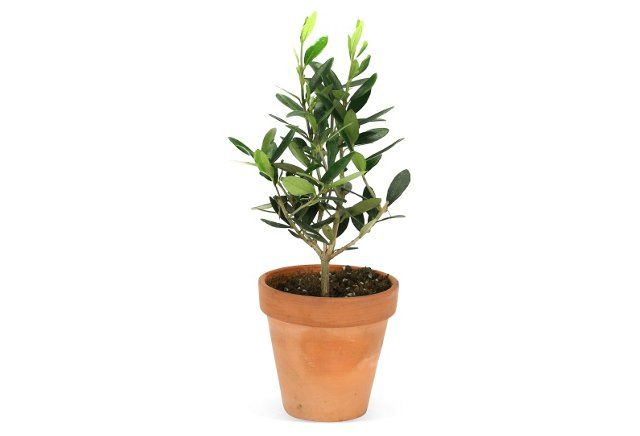 17 best images about gift giving on pinterest welcome for Olive trees in pots winter care