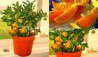 "SEEDS – Windowsill Bonsai Dwarf ""Sweet Orange"" Citrus sinensis Indoor Ornamental Seeds #sweetseeds #sweetorange #citrussinensis"