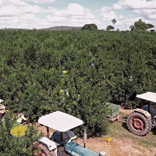 Our citrus orchard is bursting with fruit at the moment and picking is in full swing at Spencer Ranch in Wallaville, Queensland. #spencerranch #citrus #orchard #harvesting #picking #aussiefarming #freshproduce #instafood #eats #foodie #carterandspencer