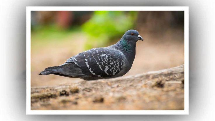 Авторские стихи, фото, прочтение Деревенский голубь