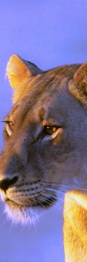 Lioness - original photo by ©/cc Arno Meintjes Wildlife