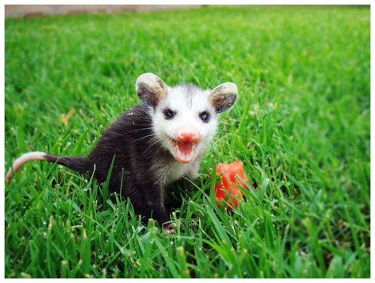 Baby Opossum! Oh no! S...
