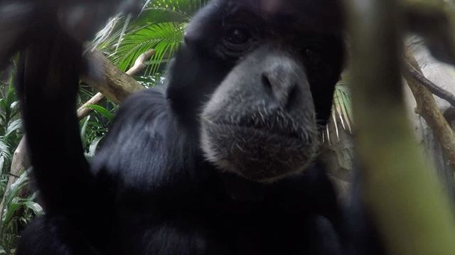 Kenny Rogers and Dolly Parton. Diana Ross and Lionel Richie. Sam and Bagus. Some #duets are timeless.  Our sweet siamang Sam lost his mate last year. Across the country at @palmbeachzoo, Bagus lost her long-time mate, too. Our hearts are full to see these two now come together. Sometimes you connect with someone instantly and it's like you've known them forever.  Full story at our profile link or blog.zoo.org  #duet #loveisintheair #siamang #siamangsong #song #singing #bestfriends #gibbons…