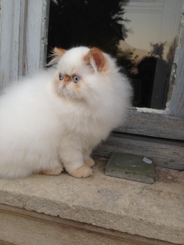 Cute Little Baby Persiancat Pretty Cats Persian Cat White