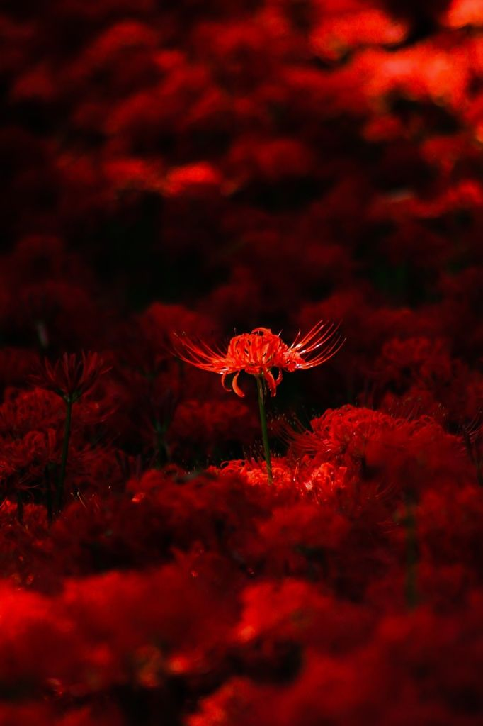 lifeisverybeautiful: Red Spider Lily via PHOTOHITO