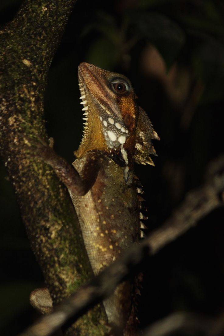 Photo of the Week - Boyd's Forest Dragon