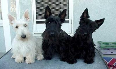 Scottish Terriers: Scottie Dogs, Westies, Puppys,  Scottie, Black White, Baby Dogs, Scotch Terriers,  Scottish Terriers, Animal