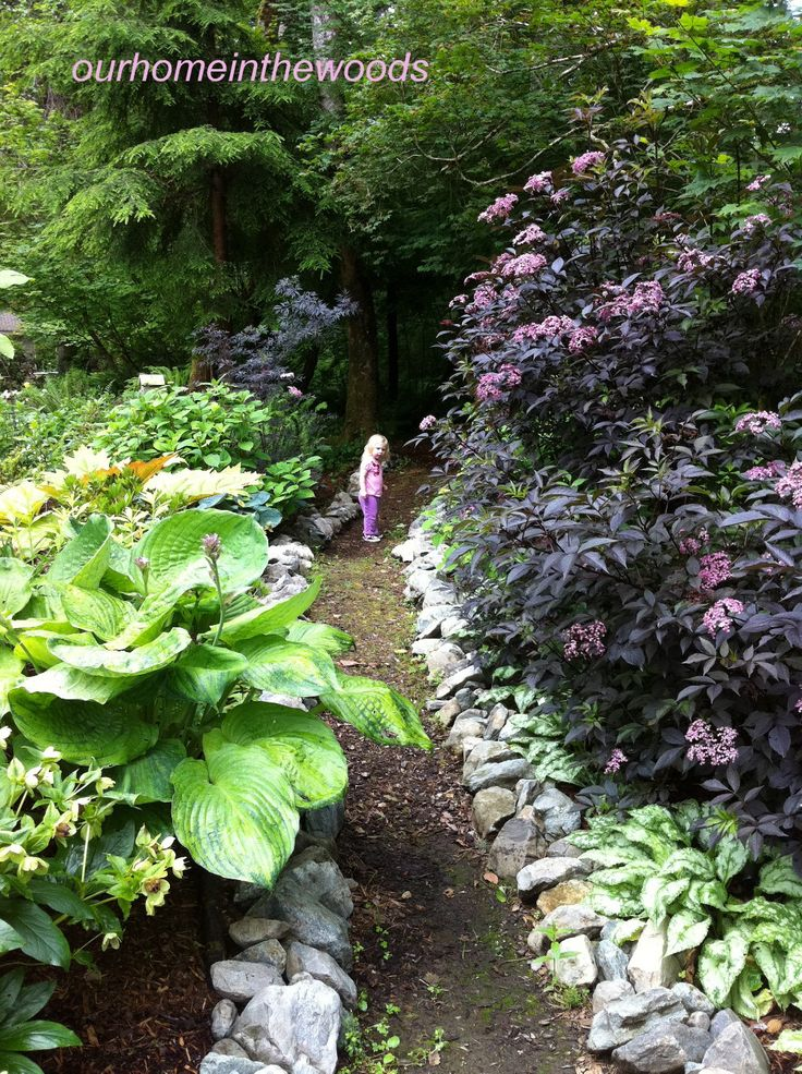 Black Lace Elderberry Google Search Garden Woodland