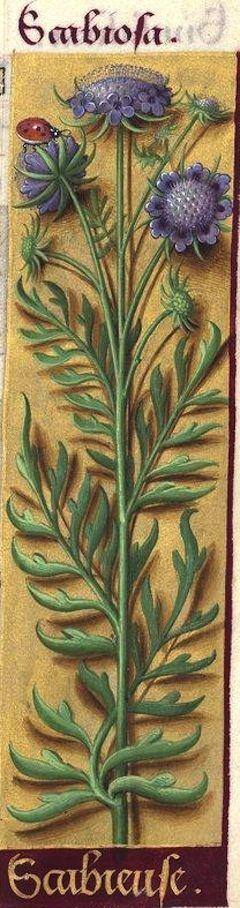 Scabieuse - Scabiosa (Scabiosa columbaria L. = scabieuse colombaire) -- Grandes Heures d'Anne de Bretagne, BNF, Ms Latin 9474, 1503-1508, f°72r