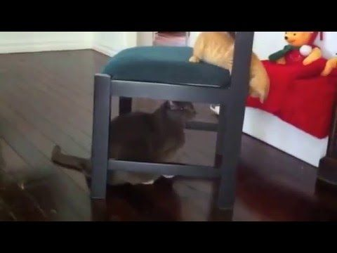 Cute Ginger Kitten Autumn wants to play with Angel Boy #funny #cat #kitten #videos #ginger #russian #blue  See more videos of Angel and Autumn https://www.youtube.com/channel/UCnmHFzKCIVEfd-LXl87QELQ