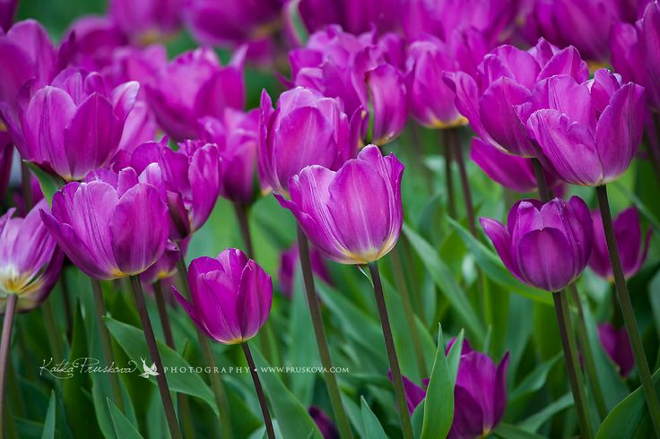 Amazing violet tulip field, Holland,  Katka Pruskova Photography   www.pruskova.com