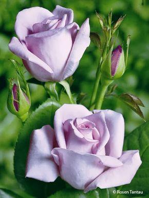 la rosa di Sissi