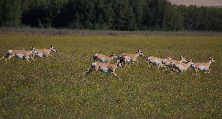 Pronghorn Antelope doing what they do best...running.