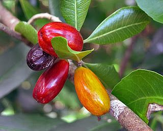 Tawapou berry is native to New Zealand and Norfolk Island. The pulpy fruit can be eaten but it is more common to use the hard seeds for necklaces and the cooked berries as a medicine