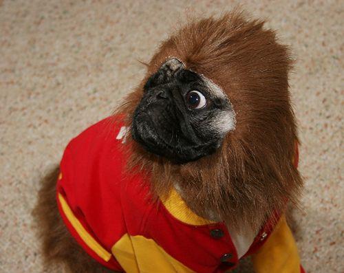 pug costume | ... Winnie Wong 's pet pug, Shelby, in a Teen Wolf Halloween costume