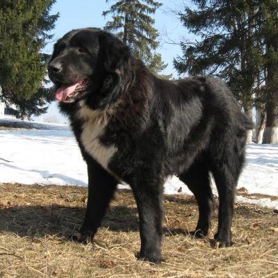 Romanian Raven Shepherd Dog / Ciobanesc Romanesc Corb | Origin: Romania