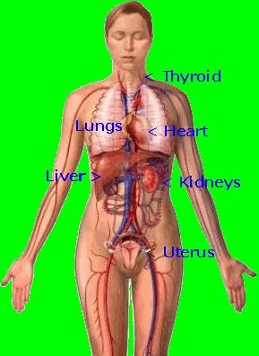 location of heart and bones | ... System, Pictures Of Organs: Heart, Lungs, Breasts, Liver, Bones