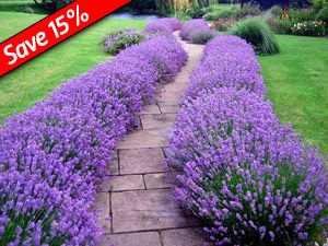 Lavender Hidcote makes a great low-growing hedge!-Lavender Hidcote Perfect low-growing Hedge Plant  Highly fragrant foliage & flowers Very drought-tolerant & thrives in full sun Fragrant flowers last for over 10 days when cut Flowers keep their fragrance after drying