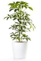 """I wish my plant looked like this. Tips on how to care for """"umbrella tree"""""""