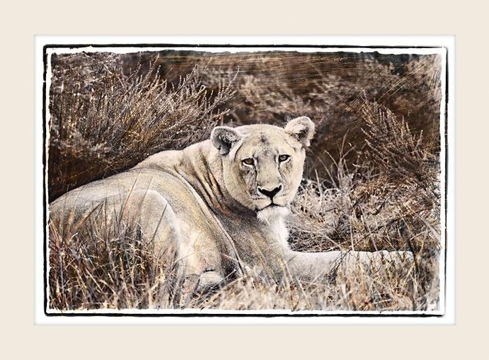 African Wildlife - Feline Grace - Marlene Neumann Fine Art Photography  www.marleneneumann.com  neumann@worldonline.co.za